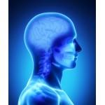 Brain
